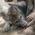 View details for this Wolf Pup Print 5x7